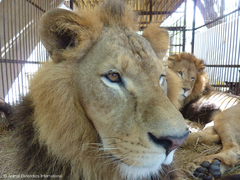 Operation Lion Ark: Animal Defenders International Plans Massive Airlift of Rescued Circus Lions from Bolivia to Colorado